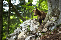 Young brown bear standing on rock in summer nature.