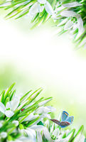Beautiful snowdrops flower blossom, ladybug, butterfly close-up on white vertical background. Spring floral nature greeting card template. Artistic toned image. Macro with soft focus