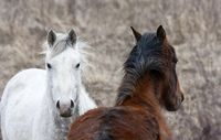 Prairie Horses Saskatchewan