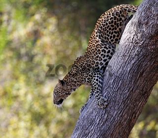 Leopard auf einem Baum, South Luangwa Nationalpark, Sambia; Leopard on a tree, South Luangwa National Park, Zambia
