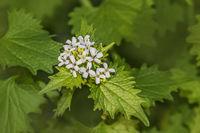 Gemeines Lauchkraut 'Alliaria petiolata'