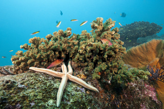 Zweifarben-Seestern am Riff, Mexiko