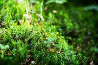 Green Fir Tree Branches, Grass, Spring Season