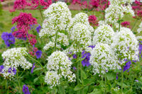 Red and White Valerian (Centranthus ruber)