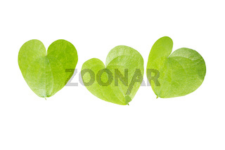 Heart shaped leaves closeup.