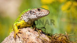 European green lizard basking on rock in summer.