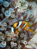 Rotmeer-Anemonenfisch (Amphiprion bicinctus)
