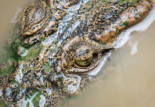 Aerial view of crocodile head with eyes in Tonle Sap lake, Cambodia