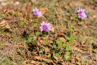 Wilde Malve - rosa blühende Sommerblume