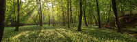 Panoramic view of a carpet of buckram flowers covering the forest floor.