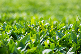 tea tree leaves closeup
