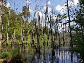 Abgestorbene Bäume im Erlenbruchwald im Briesetal, nördlich von Berlin