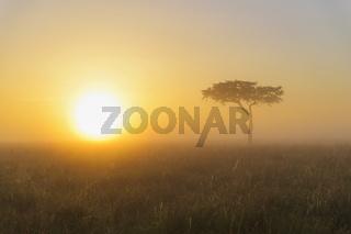 Acacia tree at sunrise with morning mist