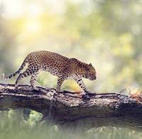 Leopard walking in the woods