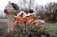 Raureif auf den verblühten Blüten einer Strauchrose