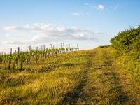 Vineyard in Burgenland with dirt road