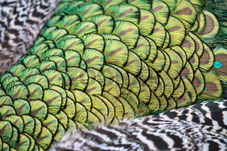 Close up of the colourful plumage of a Peacock (Pavo cristatus)