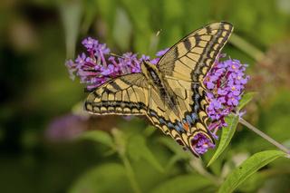 Schwalbenschwanz  'Papilio machaon'