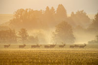 Group of deer stags on a field with forest in background casting shadows