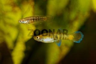 Live bearer fishes Neoheterandria elegans in freshwater aquarium