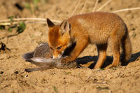 Juvenile red fox cub standing on killed prey with a paw with claws