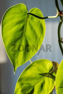 Philodendron - Beleuchtete Rankpflanze mit Herzblatt als Zimmerpflanze