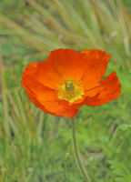 Islandmohn 'Papaver nudicuale'