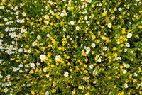 Top View Of Daisy And Yellow Flower Meadow, Green Grass, Spring Season