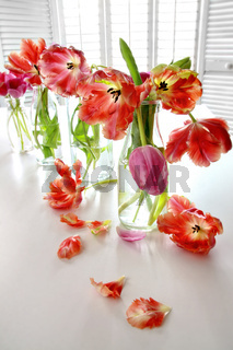 Colorful spring tulips in milk bottles