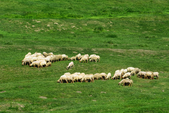 Herd of sheep on the lawn