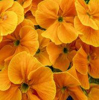 vibrant orange flowers closeup
