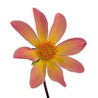 Isolated yellow dahlia flower blossom
