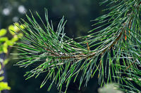 Pine branches close-up in the background light