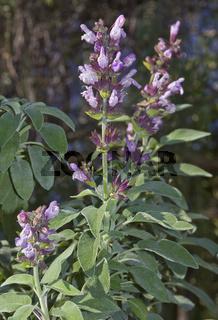 Echter Salbei - Salvia officinalis