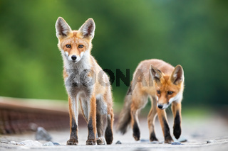Two red fox cubs on a railway tracks looking surprised