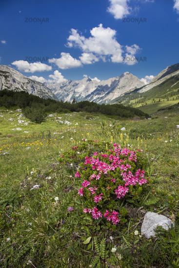 Alpenrosenbusch im Gebirge