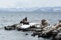 Rookery Northern Sea Lion or Steller Sea Lion. Avachinskaya Bay, Kamchatka