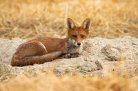 Beautiful young red fox lying on the ground and listening attentively