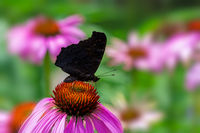 Peacock butterfly on pink echinacea blossom