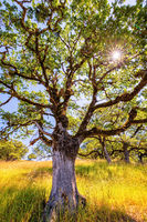 Oak Tree in the Sunlight. Northern California, USA