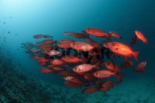 Riff-Grossauge, Malediven