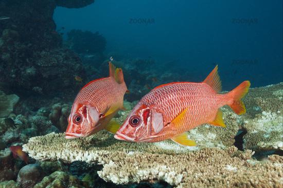 Grossdorn-Husarenfische, Malediven