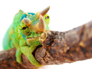 Three horned chameleon/trioceros jacksonii