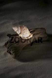 Haus einer Meeresschnecke auf Treibholz
