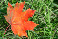 Closeup macro shot of beautiful red maple leaf on a green grass meadow in autumn