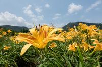 landscape of tiger lily