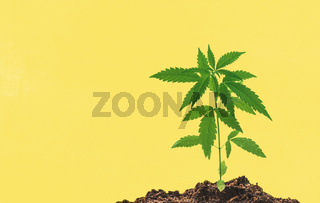 Young medical Cannabis plant close in coco coir soil