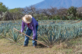 Worker in blue agave field in Tequila, Jalisco, Mexico