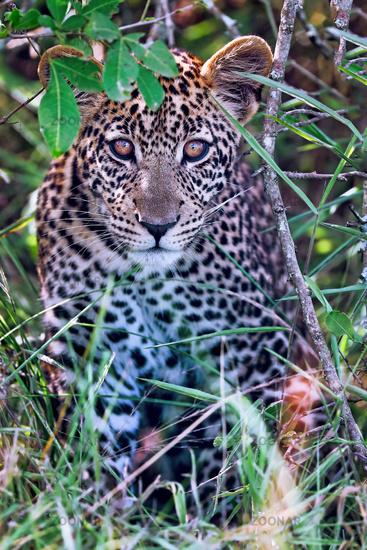 Junger Leopard im Lake Mburo Nationalpark in Uganda (Panthera pardus) | young leopard at Lake Mburo National Park in Uganda (Panthera pardus)