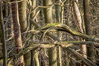 Abgestorbene Bäume und Äste  hängen  verschlungen zwischen anderen Bäumen in der Luft